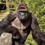 Thumb gorilla shot boy zookeper explains harambe amanda odonoughue cincinnati zoo 1